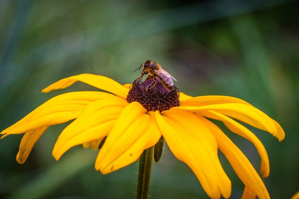 Бджілка на жовтій квітці