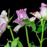 Три рожеві троянди