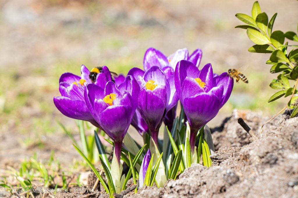 19 квітня, теплий сонячний день, бджілки і джмелі збирають нектар
