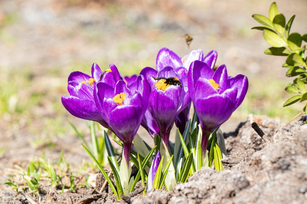 Джмелі та бджоли збирають нектар з перших квіток