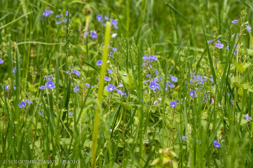 Веронічки серед трави