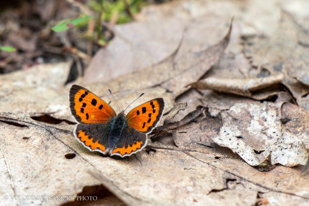 Метелик на позаторішньому листі