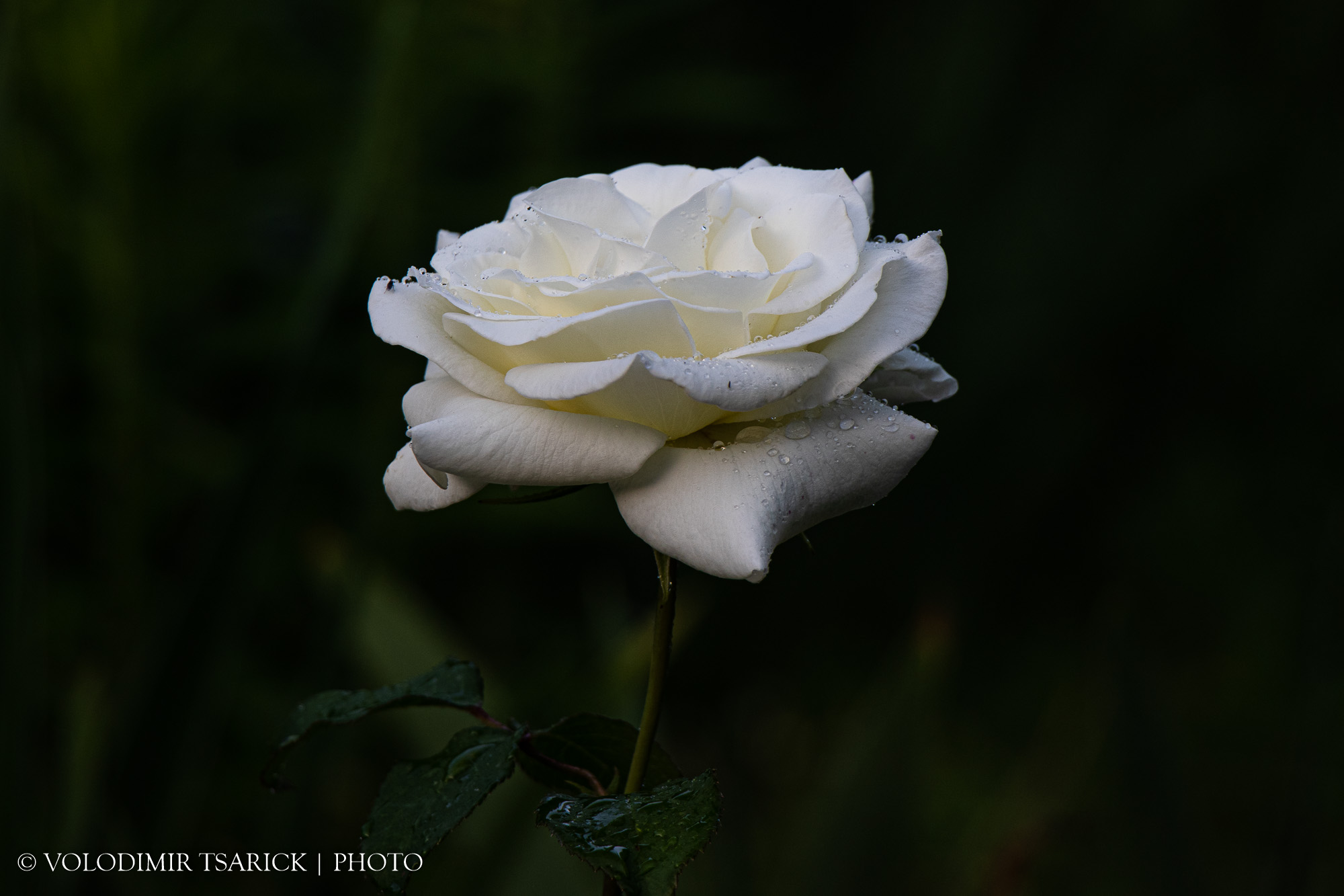 Біла троянда