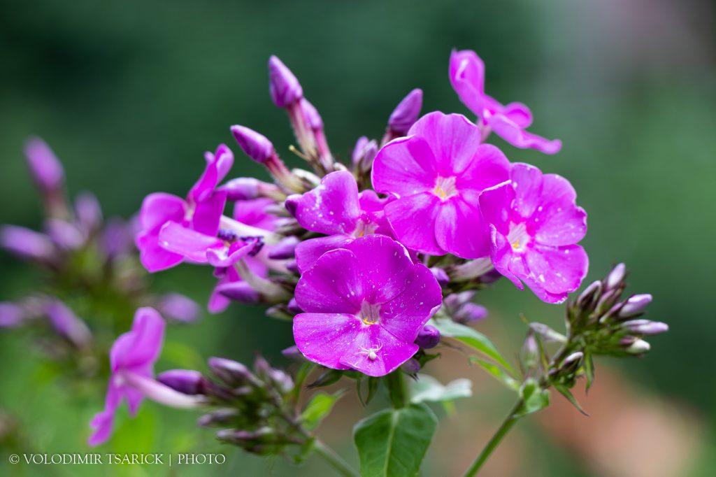 Квіти Флокса і білий павучок