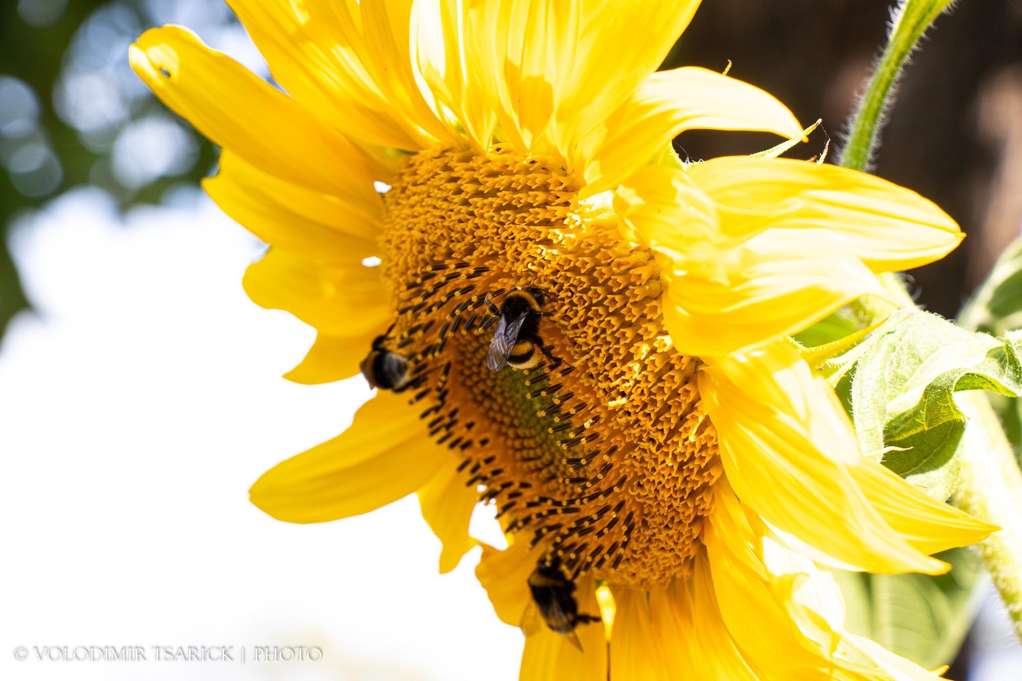 Джмелі збирають врожай з соняшника